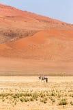 Namib Desert, Sossusvlei at sunset. Oryx Gemsbok at Namib Desert, Sossusvlei at sunset. Namibia, Africa Royalty Free Stock Image