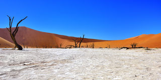 Namib-Naukluft National Park, Namibia, Africa. Dead Camelthorn Trees against blue sky in Deadvlei, Sossusvlei. Namib-Naukluft National Park, Namibia, Africa royalty free stock photos