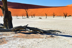 Namib-Naukluft National Park, Namibia, Africa. Dead Camelthorn Trees against blue sky in Deadvlei, Sossusvlei. Namib-Naukluft National Park, Namibia, Africa royalty free stock images
