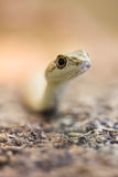 Namib Sand Snake Head Side Royalty Free Stock Images