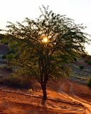 Namibië, Afrika, boom tegen zonsondergang Stock Foto
