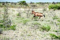 Namibië, Etosha-Park, Afrika, Stock Afbeelding