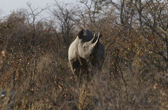 Namibia Black Rhinoceros standing amongst bushes Royalty Free Stock Photos