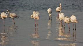 Namibia, Cape Cross, flamingos. Namibia, Cape Cross, Some flamingos feed in a group Stock Photo