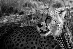 Namibia - cheetah Stock Images
