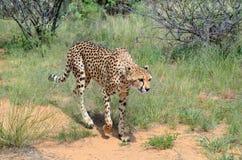 _ Namibia cheetah Royaltyfri Foto