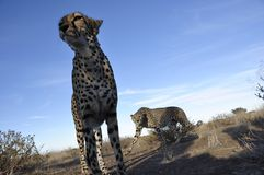 Namibia: Close to two jeetahs in the bush royalty free stock image