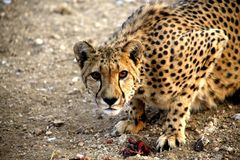 Namibia,  Etosha park. Namibia Damaraland, a cheetah observes us while eating his meal Royalty Free Stock Images