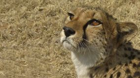 Namibia,  Etosha park. Namibia Damaraland, a cheetah observes us Royalty Free Stock Photo