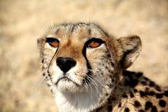 Namibia,  Etosha park Stock Image