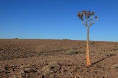 namibia darrningtrees Royaltyfri Foto