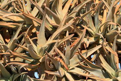 namibia darrningtrees Royaltyfri Fotografi