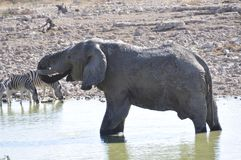 Namibia: A elephant is drinking at the waterhole at Okaukue. Namibia: A elephant near Okaukuejo-Camp in Etosha Nationalpark is drinking up to 200 liters per day Royalty Free Stock Photography