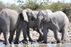 Namibia: elephants at the Halali waterhole in Etosha S. Namibia: Three elephants at the Halali waterhole in the Etosha Salt pans Royalty Free Stock Photo