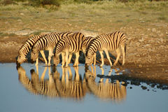 Namibia etosha np zebry obrazy stock