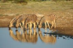Namibia etosha np zebry Zdjęcia Stock