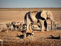Namibia, Etosha panna, elefant och annat djurdricksvatten royaltyfri fotografi