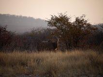 Namibia Etosha parkerar, royaltyfri bild
