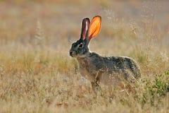 Namibia etosha parku narodowego hare, szoruj Zdjęcie Stock