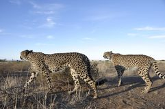 In Namibia gibt es ungefähr 300 gelassene Geparde; Drittel des w Stockbilder