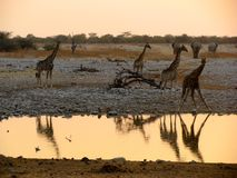 Namibia Giraffes drinking Royalty Free Stock Photo