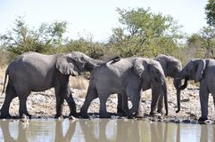 Namibia: A herd of elephants at the waterhole in Etosha National. Namibia: A herd of elephants standing at the waterhole in Etosha National Park Royalty Free Stock Photos