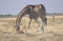 Namibia: Hungry Giraf feeding from cadaver in Etosha NAtionalpark. Namibia: Usually Girafs in Etosha NAtionalpark are not feeding dead animals. This one found a royalty free stock photography