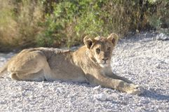 Namibia: A lion cup is lying around in Etosha Nationalpark. stock photo