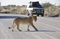 Namibia: Lioness is walking over the gravel road in Etosha Nationalpark in front of the safari-cars royalty free stock photo