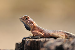 Namibia Lizard Royalty Free Stock Image