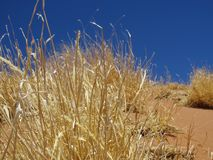 Namibia Naukluft parkerar, den Straw Bush närbilden royaltyfri bild