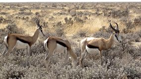 Namibia, Parkowy Etosha fotografia stock