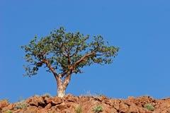 Namibia południowej afryce corkwood drzewo. Obrazy Royalty Free