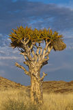 Namibia quiver tree Royalty Free Stock Photography