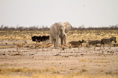 namibia safari arkivbild