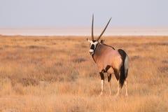 namibia safari arkivbilder