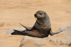 Namibia - Sea lion Stock Photo