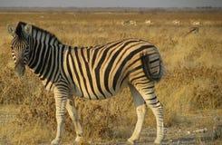 Namibia sebra som ser dig Fotografering för Bildbyråer
