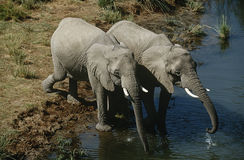 Namibia two African Bush Elephants drinking water from river elevated view Royalty Free Stock Photos
