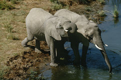 Namibia two African Bush Elephants drinking water from river elevated view Stock Photo