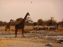 Namibia variuos animals drinking Royalty Free Stock Photos