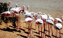 Namibia, Walvis zatoka, Różowi flamingi obraz royalty free