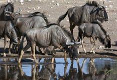 namibia wildebeest Fotografering för Bildbyråer