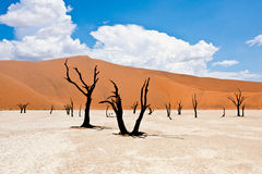 Namibian Desert trees and dunes. At Soussuvlei Dead Vlei Royalty Free Stock Photo