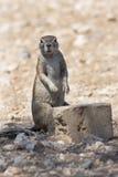 Namibian eekhoorn Royalty-vrije Stock Afbeelding