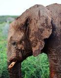 Namibian Elelphant Royalty-vrije Stock Afbeelding