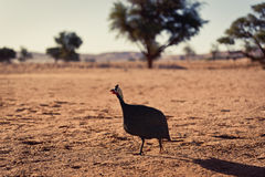 Namibian Fowl. Search for food Royalty Free Stock Photo
