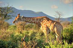 Namibian Giraf royalty-vrije stock afbeelding