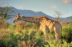 Namibian Giraffe. A Beautiful Namibian Giraffe Grazing Royalty Free Stock Image
