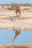 Namibian giraffe and  Burchells zebra with reflections in water Royalty Free Stock Photo